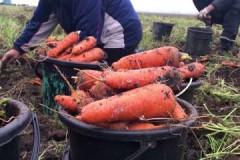 Сроки и правила уборки моркови на хранение на зиму