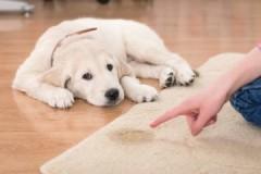 Способы и методы, как убрать запах собачьей мочи с ковра в домашних условиях