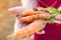 Популярные способы, как хранить морковь в погребе