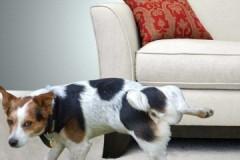 Как и чем быстро, результативно и без особых усилий вывести запах собачьей мочи с обивки дивана?