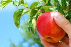 Рекомендации опытных садоводов, когда и как правильно снимать яблоки на хранение